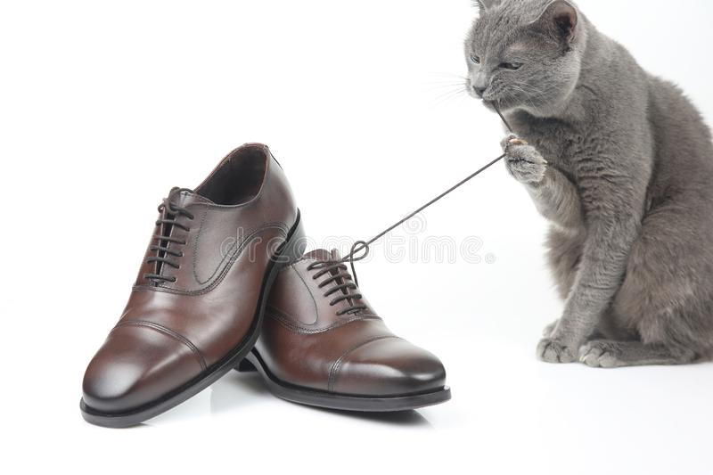 Gray cat plays with a classic lace men`s brown Shoe on white bac royalty free stock image