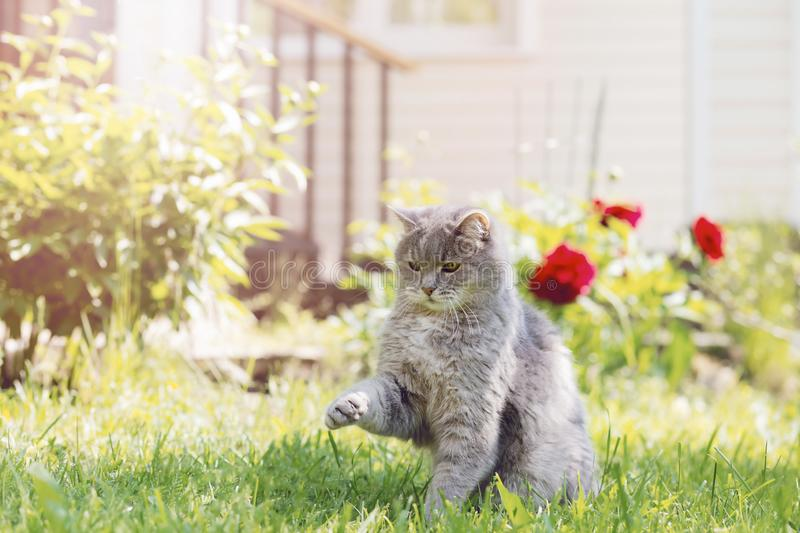 A gray cat plays in the summer garden, raising its front paw, against the background of green grass and a country house. Sunlight, blurred background royalty free stock image