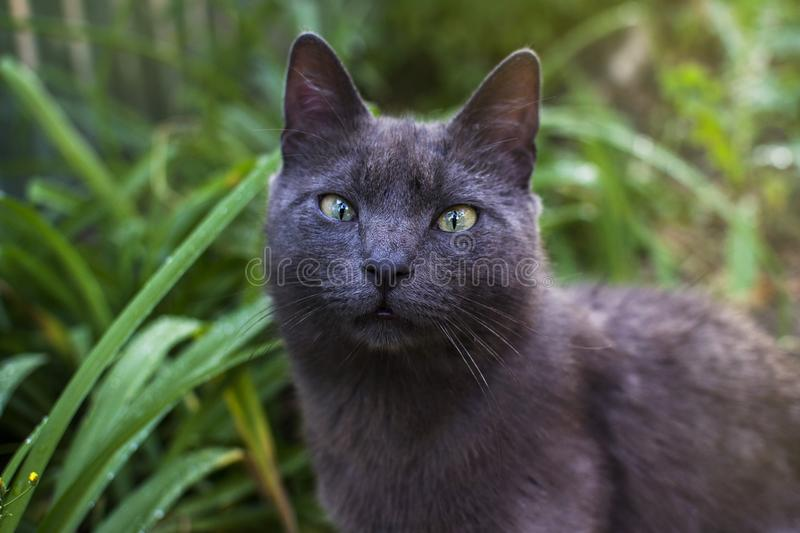 gray cat look with green eyes stock images
