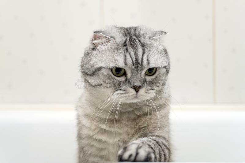 Gray Cat Scottish Fold no banheiro fotos de stock royalty free