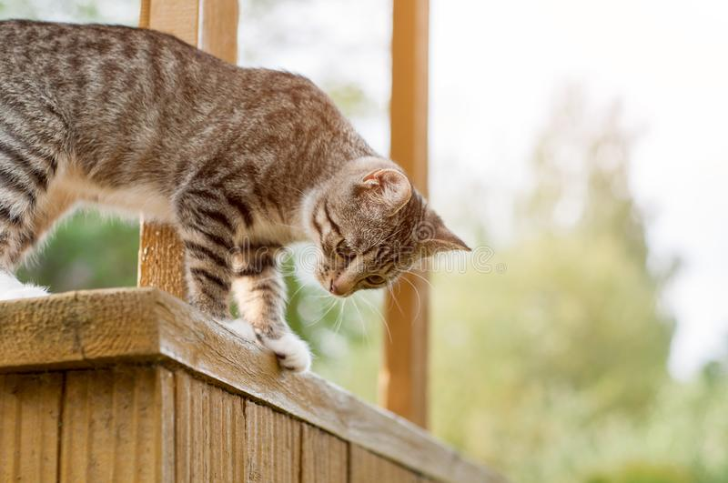 Gray Cat Sit On Porch. Sideview Of Gray Cat Sitting On Wooden Stoop And Looking Down stock photos
