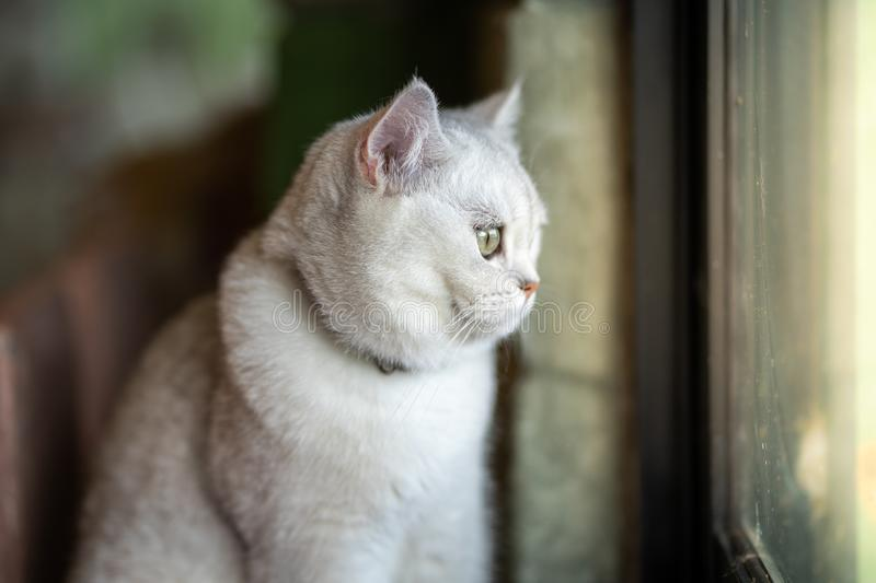 The gray cat is sitting out looking out the window. From inside the room in the house royalty free stock images