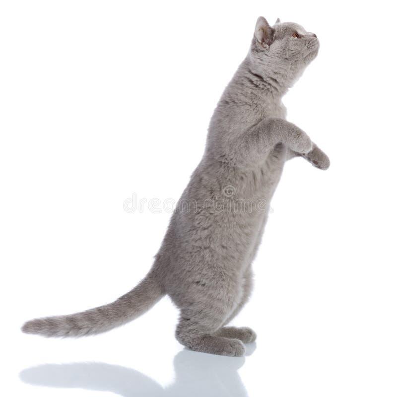 Gray cat standing stock photos