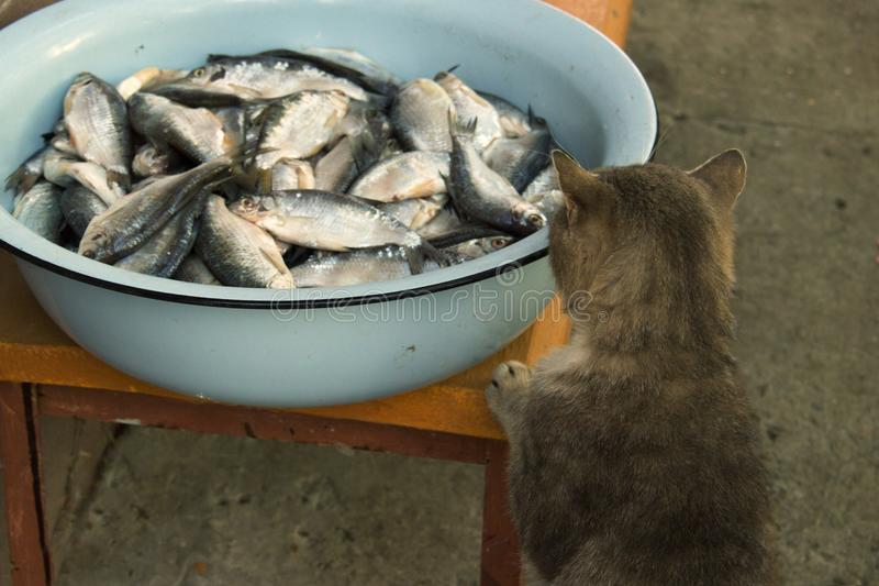 A gray cat steals a fish ram from a fisherman`s catch in the pelvis or on the market. Homeless street cat. Care for hungry homele stock photography