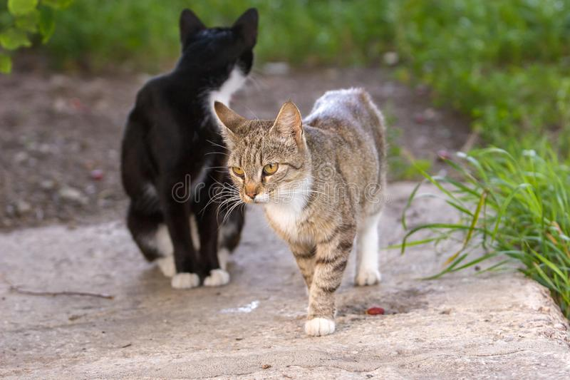 A gray cat is walking along a concrete slab and a second black cat is sitting behind its head. royalty free stock images