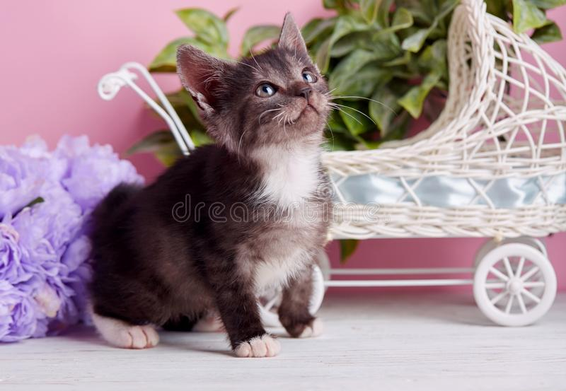 A gray cat with white paws sits on a white table. The cat poses for the photographer. A beautiful kitty with decorations stock photography