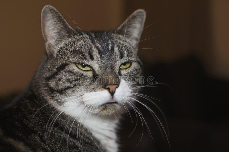 Gray Cat With White Tufts Glaring y pegarse hacia fuera la lengua fotografía de archivo libre de regalías