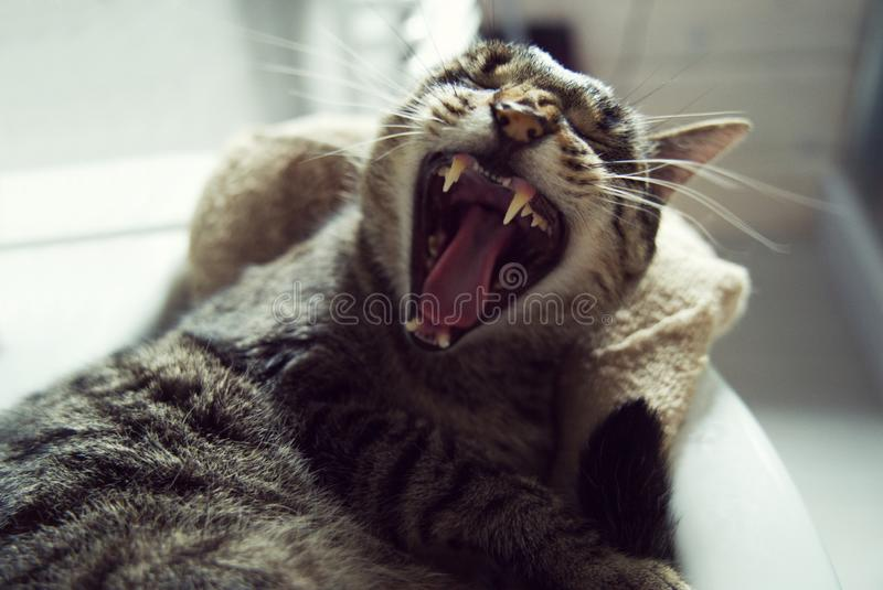 Gray cat who is yawning. stock photos