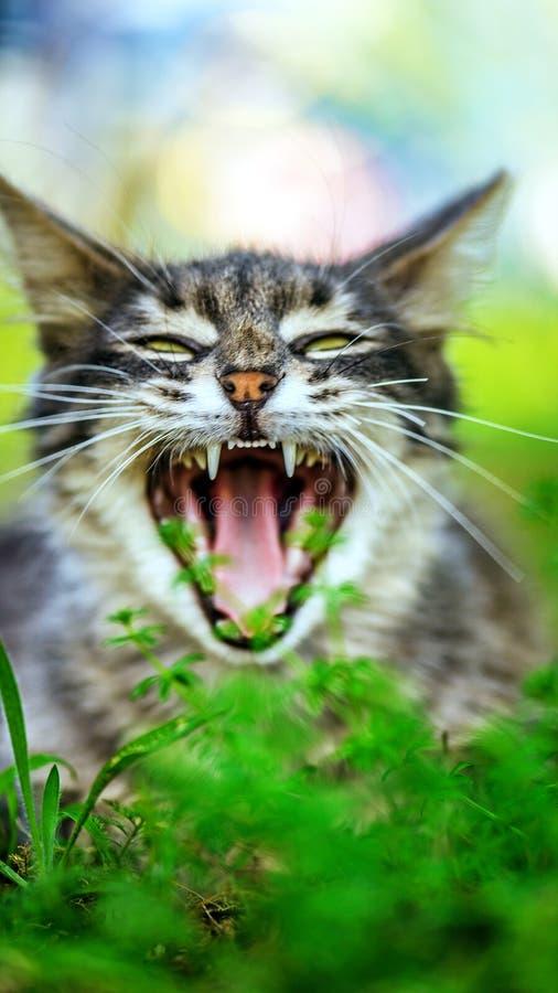 Gray cat yawns. Beautiful gray cat yawns in city's green summer garden stock photo