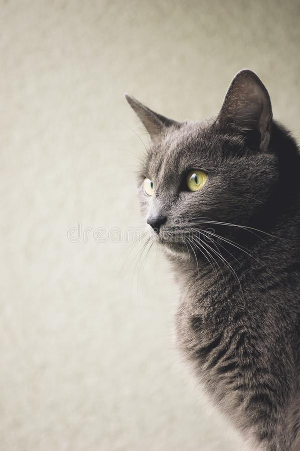 Gray Cat with yellow eyes. Cats, domestic, profile, portrait royalty free stock photos