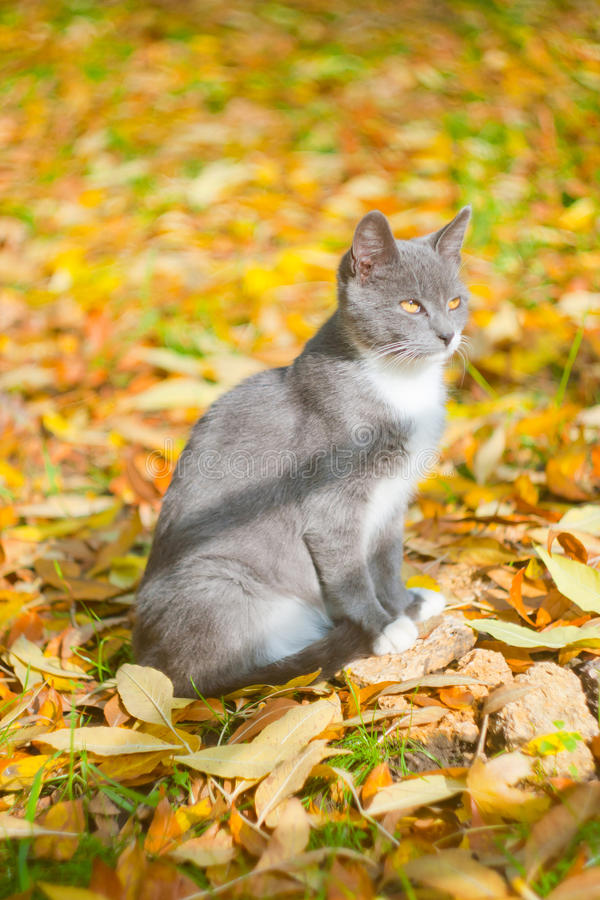 Gray cat in yellow leaves royalty free stock images