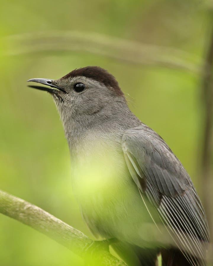 Download Gray Catbird stock photo. Image of passerine, york, black - 24669554