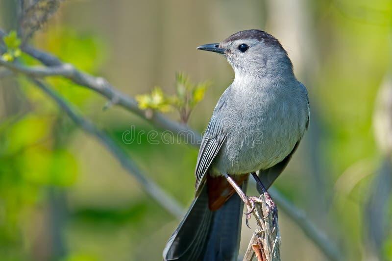Gray Catbird royaltyfri bild