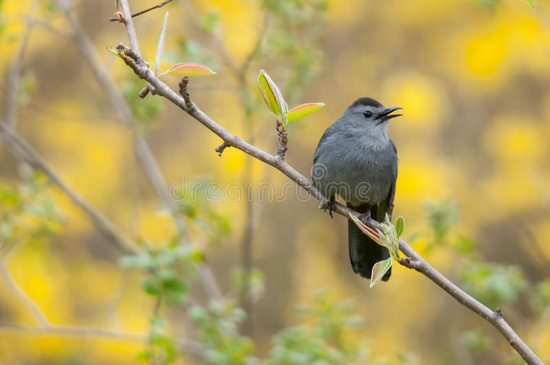 Gray Catbird. On a branch stock photo