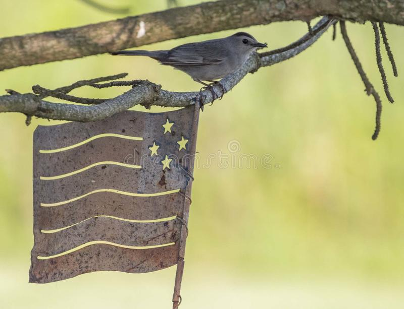 Gray Catbird con la bandera americana imágenes de archivo libres de regalías