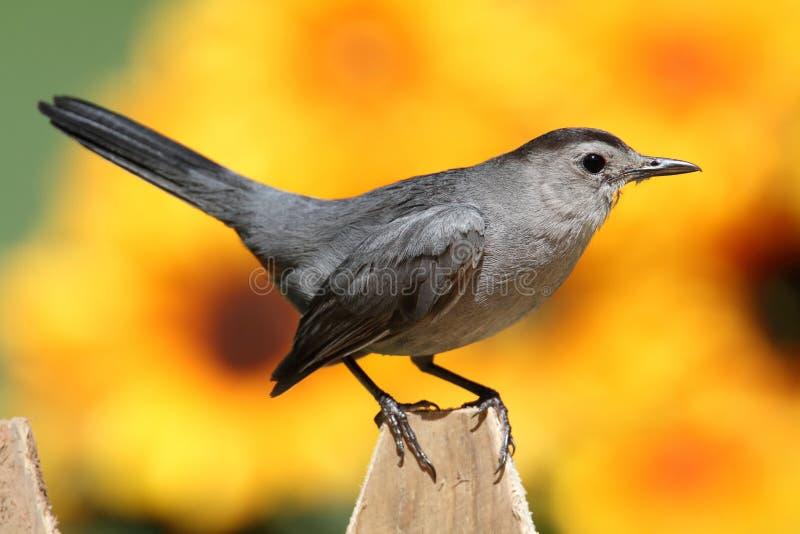 Download Gray Catbird (Dumetella Carolinensis) Stock Photo - Image: 20509718