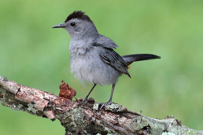 Gray Catbird (Dumetella carolinensis) royalty free stock photo