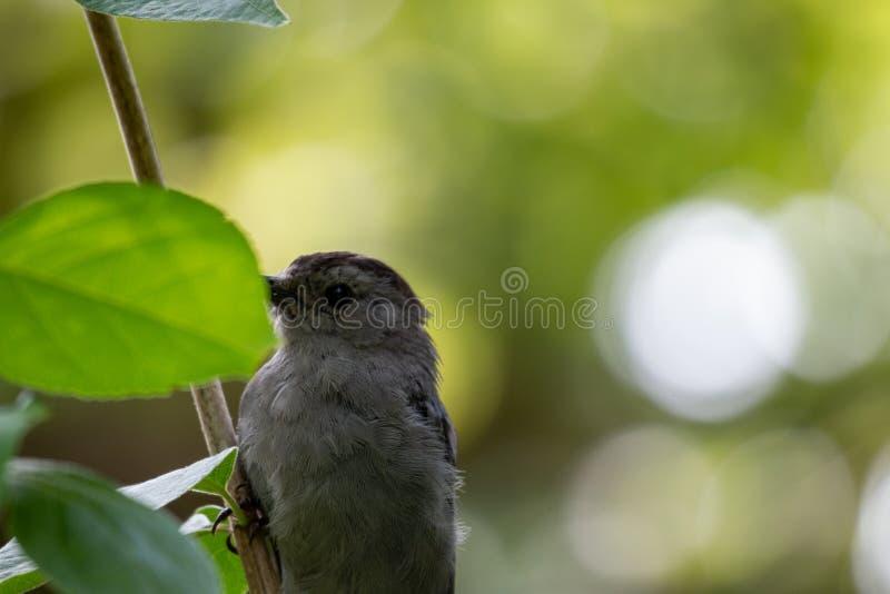 Gray Catbird Dumetella carolinensis Calling in Spring - Ontario, Canada stock fotografie