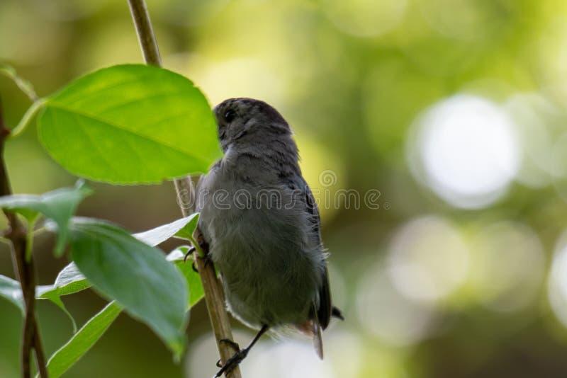 Gray Catbird Dumetella carolinensis Calling in Spring - Ontario, Canada stock afbeeldingen
