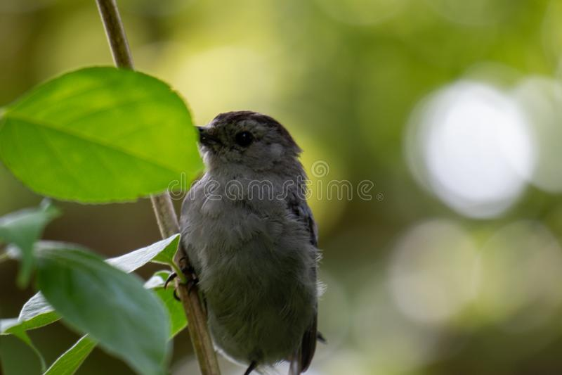 Gray Catbird Dumetella carolinensis Calling in Spring - Ontario, Canada royalty-vrije stock afbeelding