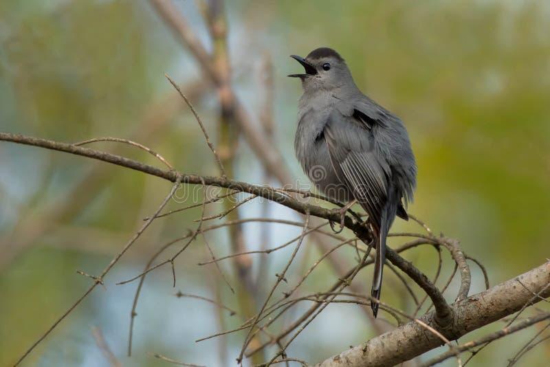 Gray Catbird - Dumetellacarolinensis royaltyfri bild