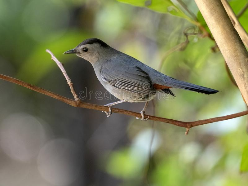 Gray Catbird Dumetellacarolinensis som sitter p? en filial, Belize royaltyfri bild