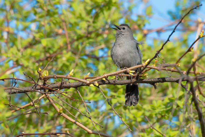 Gray Catbird - Dumetellacarolinensis arkivbilder