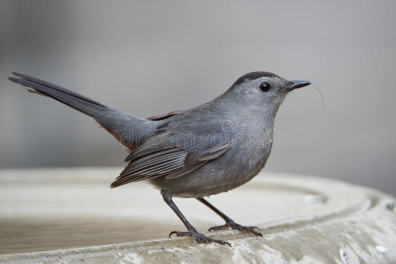 Gray Catbird en Bryant Park, New York photo libre de droits