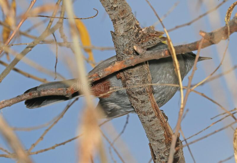 760 - GRAY CATBIRD (12-17-2016) patagonia lake, santa cruz co, az -03 royalty free stock images