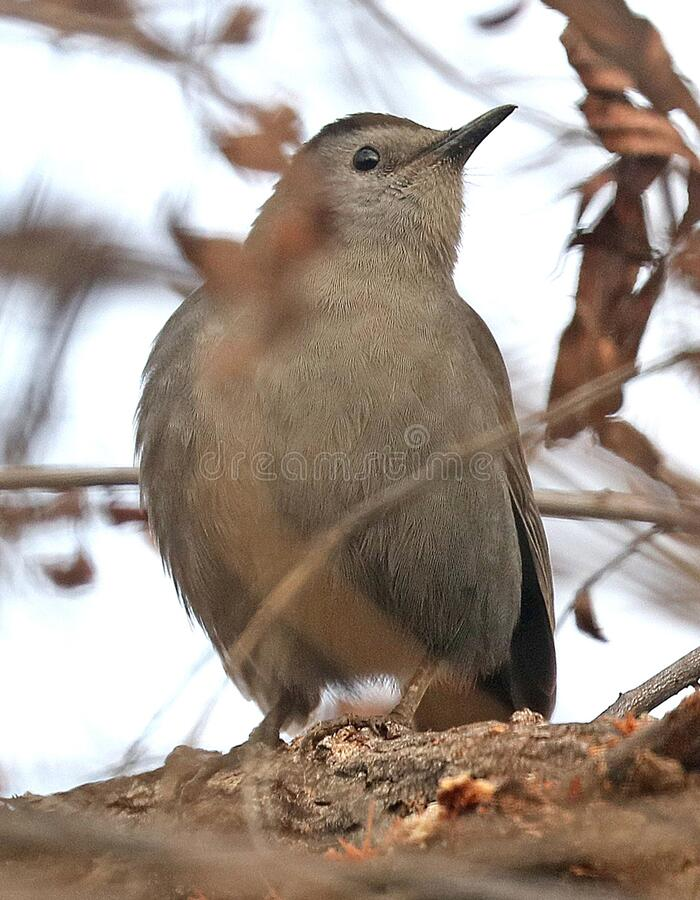 760 - GRAY CATBIRD (12-17-2016) patagonia lake, santa cruz co, az -01 royalty free stock images