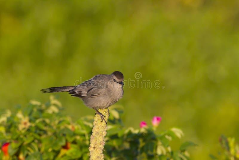 Gray Catbird sätta sig royaltyfri bild