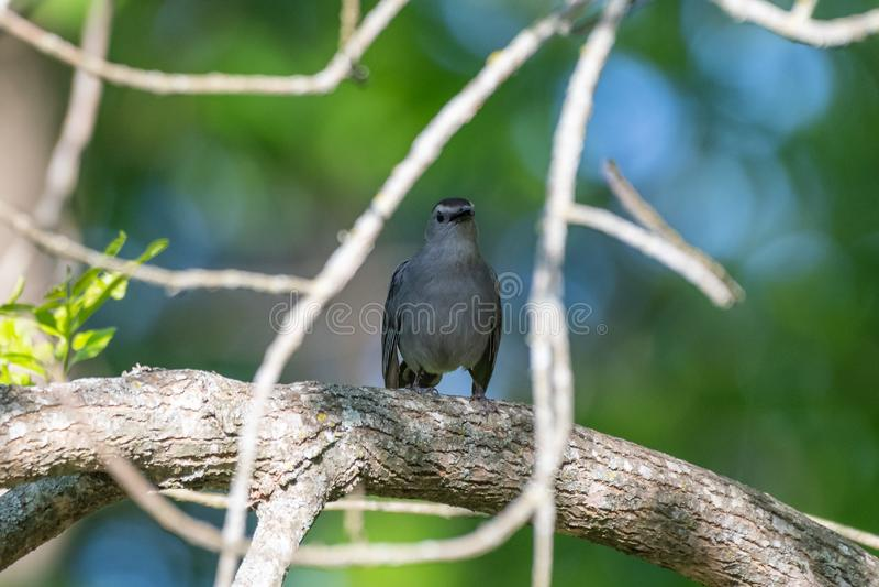 Gray Catbird s?tta sig arkivbild