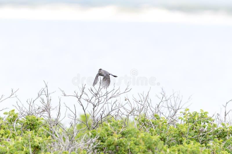 Gray Catbird som lågt flyger fotografering för bildbyråer