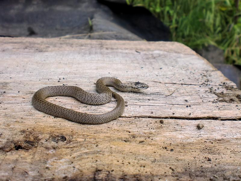 A gray Caucasian viper is basking in the sun. stock photos