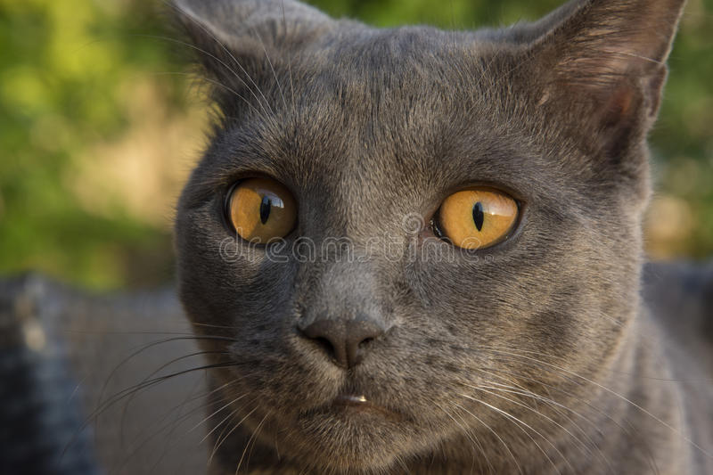 Gray Chartreux cat. Closeup of a gray cat breed Chartreux royalty free stock photography