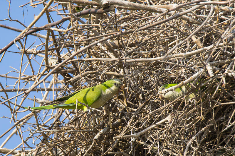 Gray Cheeked Parakeets Working Together sul nido fotografia stock