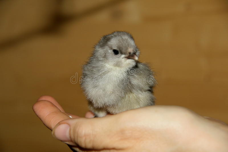 Gray chick. The gray chick on his hand royalty free stock photos