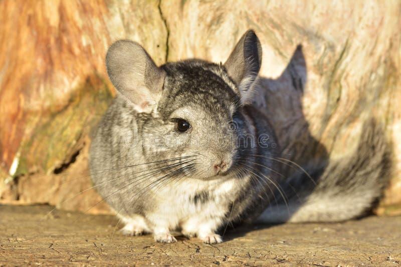 Gray Chinchilla på en utomhus- wood bakgrund fotografering för bildbyråer