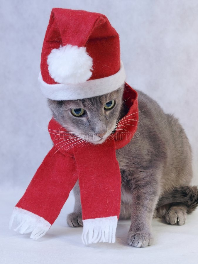 Gray Christmas cat. In red cap with scarf royalty free stock image