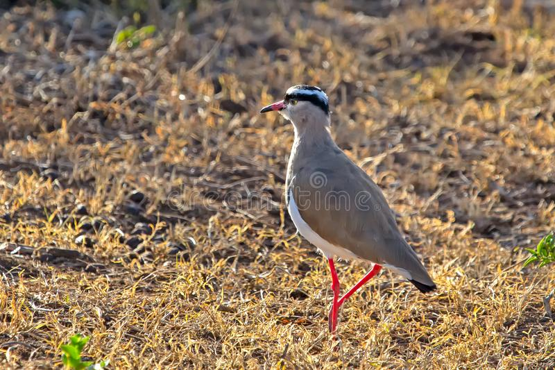 Gray Colored Crowned Lapwing South África fotografia de stock