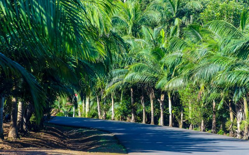 Gray Concrete Road Between Green Palm Tress royalty free stock image