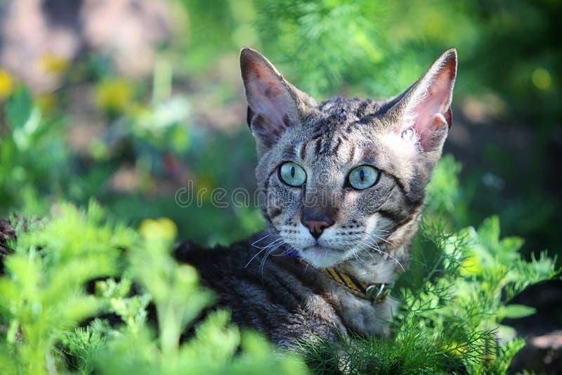 Gray Cornish Rex Cat Stock Images