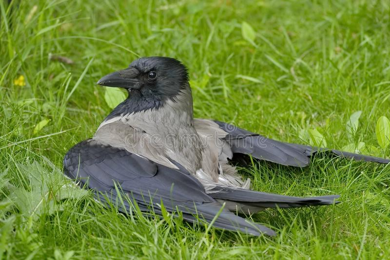 Gray crow Lat. Corvus cornix is a species of birds from the genus of crows. A gray crow on the grass. royalty free stock photos