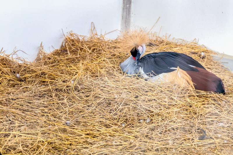 Gray Crowned Crane Lying image stock