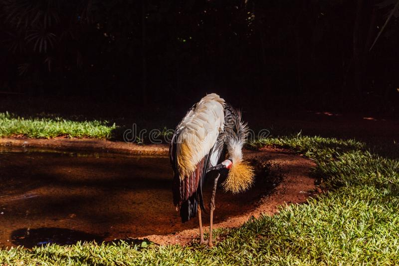 Gray Crowned Crane-vogel het eten stock fotografie
