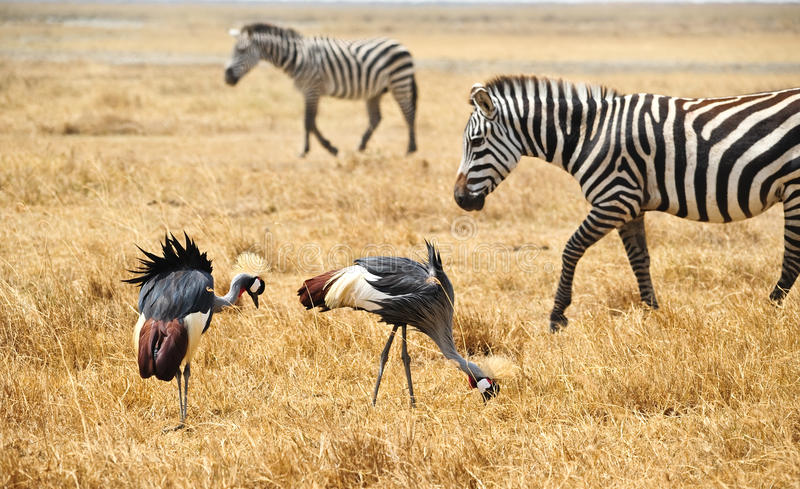 Gray Crowned Crane and zebras stock images