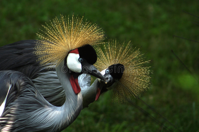 Gray Crowned Cranes stock photos