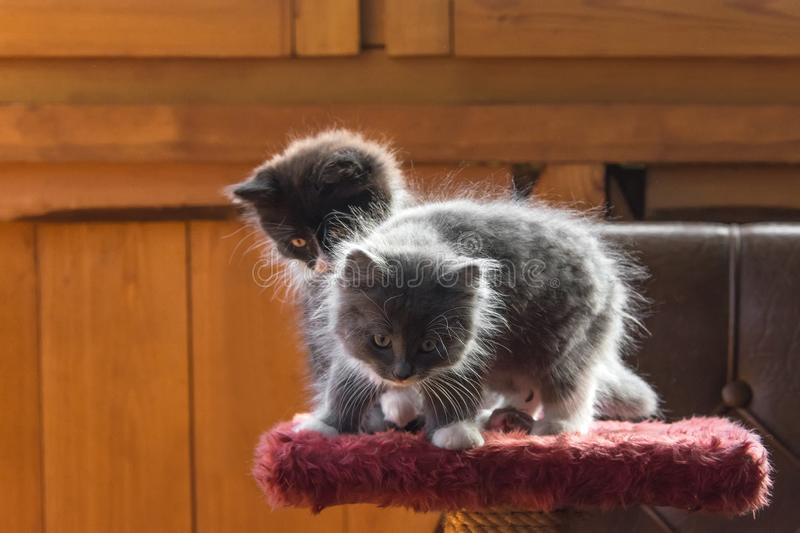 Fluffy kittens. Gray cute fluffy kittens for playing royalty free stock images