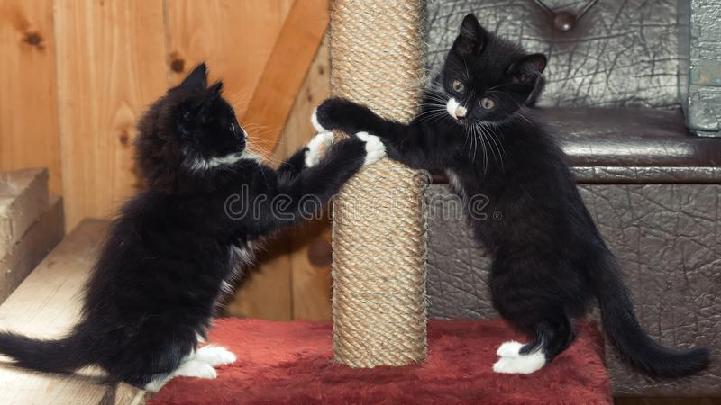 Fluffy kittens playing. Gray cute fluffy kittens for playing stock images