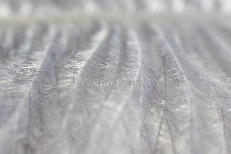 Gray decorative feather close-up, beautiful delicate texture. The image is great as a background, it is in gray tones. Visible fine texture of the pen, the royalty free stock photo